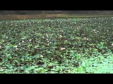 Birds in their natural habitat-lotus pond as waterhole for birds