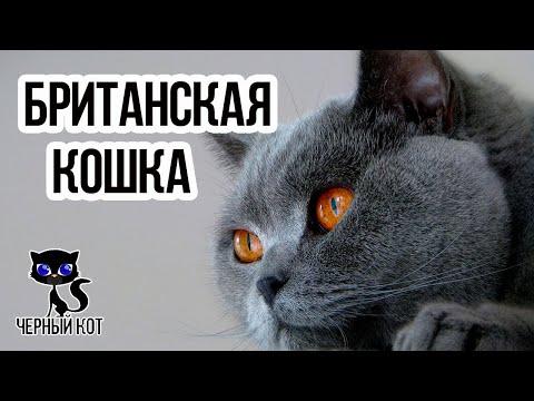 Британские кошки  / Интересные факты о кошках