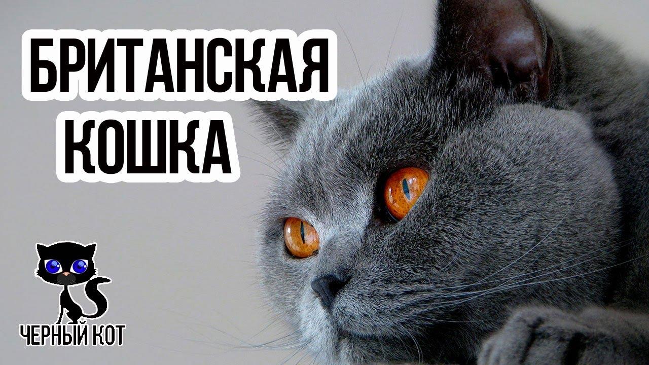 Британские кошки / Интересные факты о кошках - YouTube