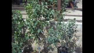 Selection Of Fruit Salad Trees Or Multi Graft Fruit Trees