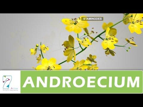 ANDROECIUM