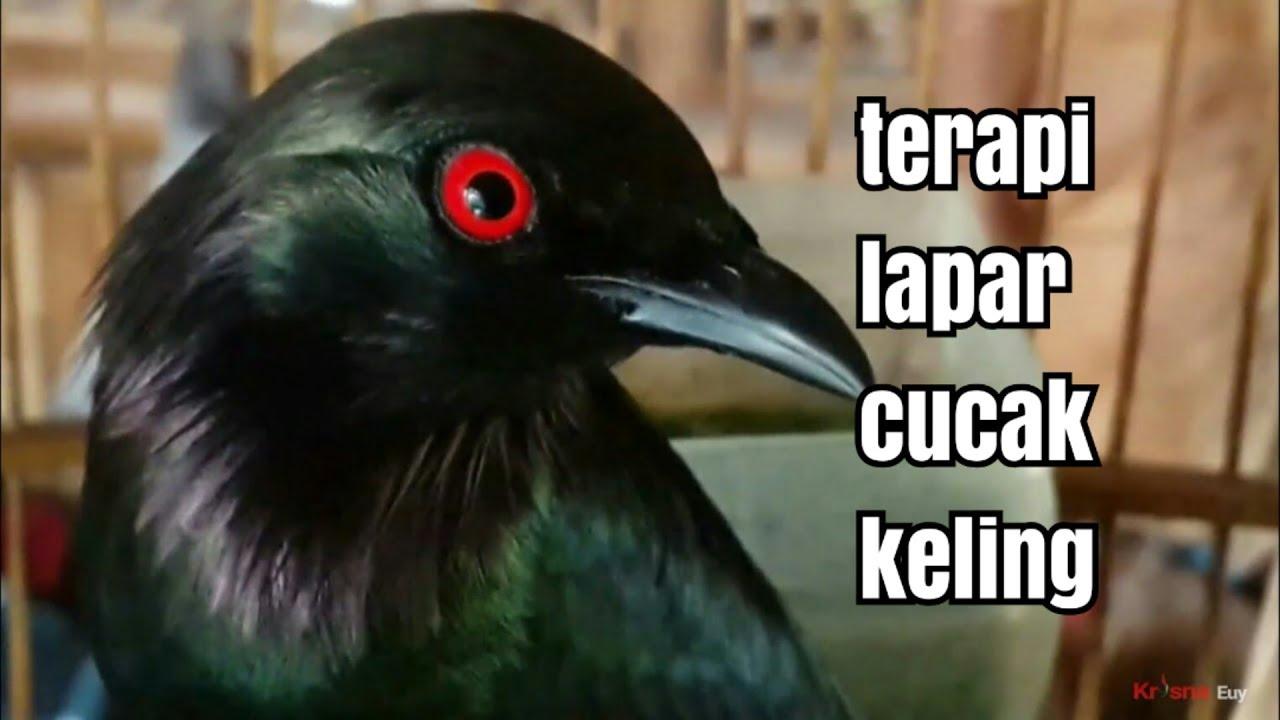 Burung Cocak Keling Di Alam Aplonis Panayensis By Peksi Chanel