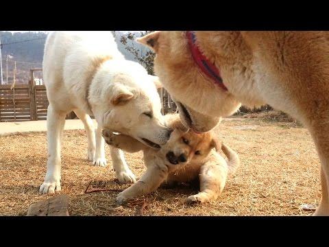 [67] 엄마개에게 야단 맞는 말괄량이 진돗개 강아지 외동딸 장금이/A tomboy baby dog