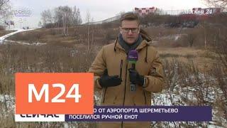 Смотреть видео Возле аэропорта Шереметьево поселился ручной енот - Москва 24 онлайн