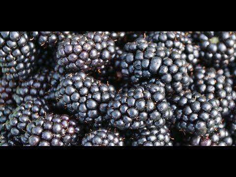 Вопрос: Ежевика Натчез как правильно выращивать?