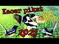 Pikat Burung Kacer Dengan Suara Pikat Kacer Ribut Ini Lihat Hasilnya  Mp3 - Mp4 Download