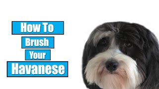 How To Brush Your Havanese