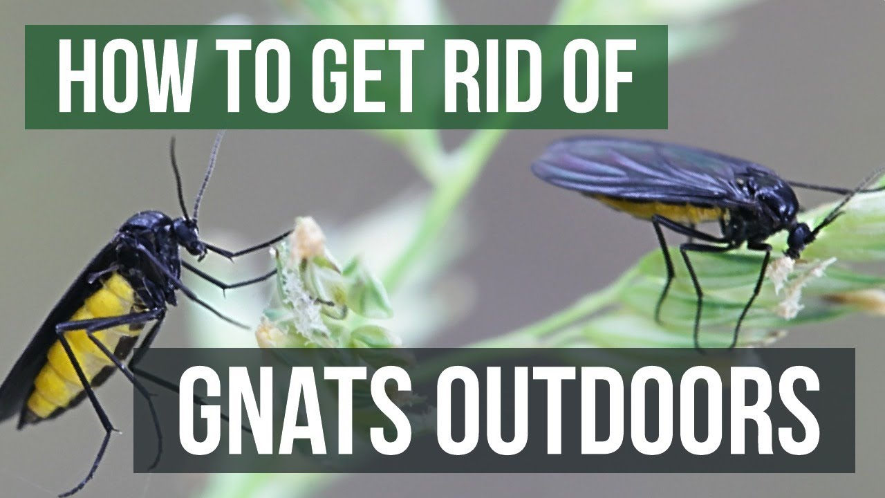 How To Get Rid Of Gnats Outdoors Youtube