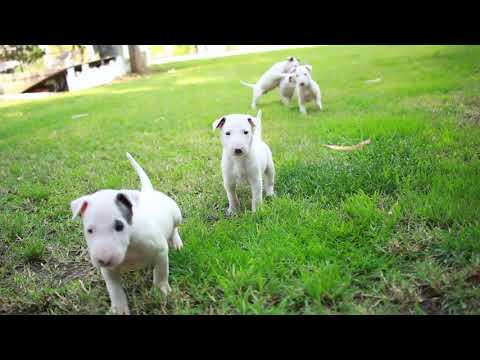 AKC Bull Terriers