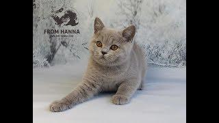 Британский лиловый котенок-кошка / british lilac