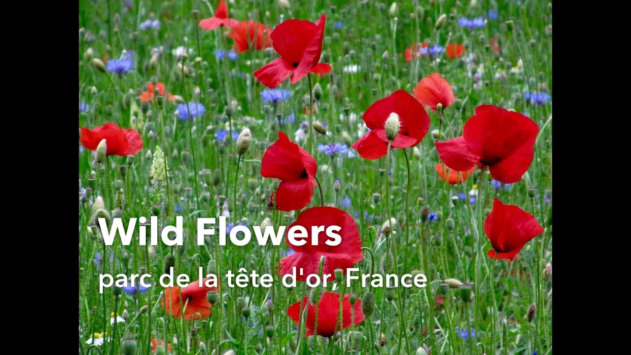 Wild Flower Field Poppies In The Park Youtube