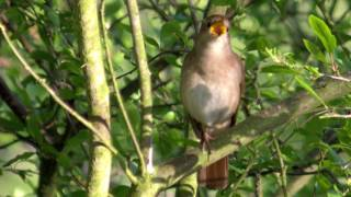Nightingale song and photo