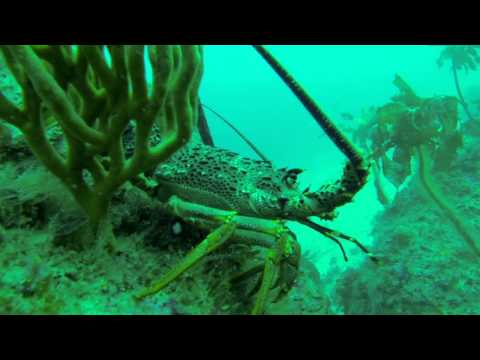 Diving for Crayfish at Great Barrier Island New Zealand