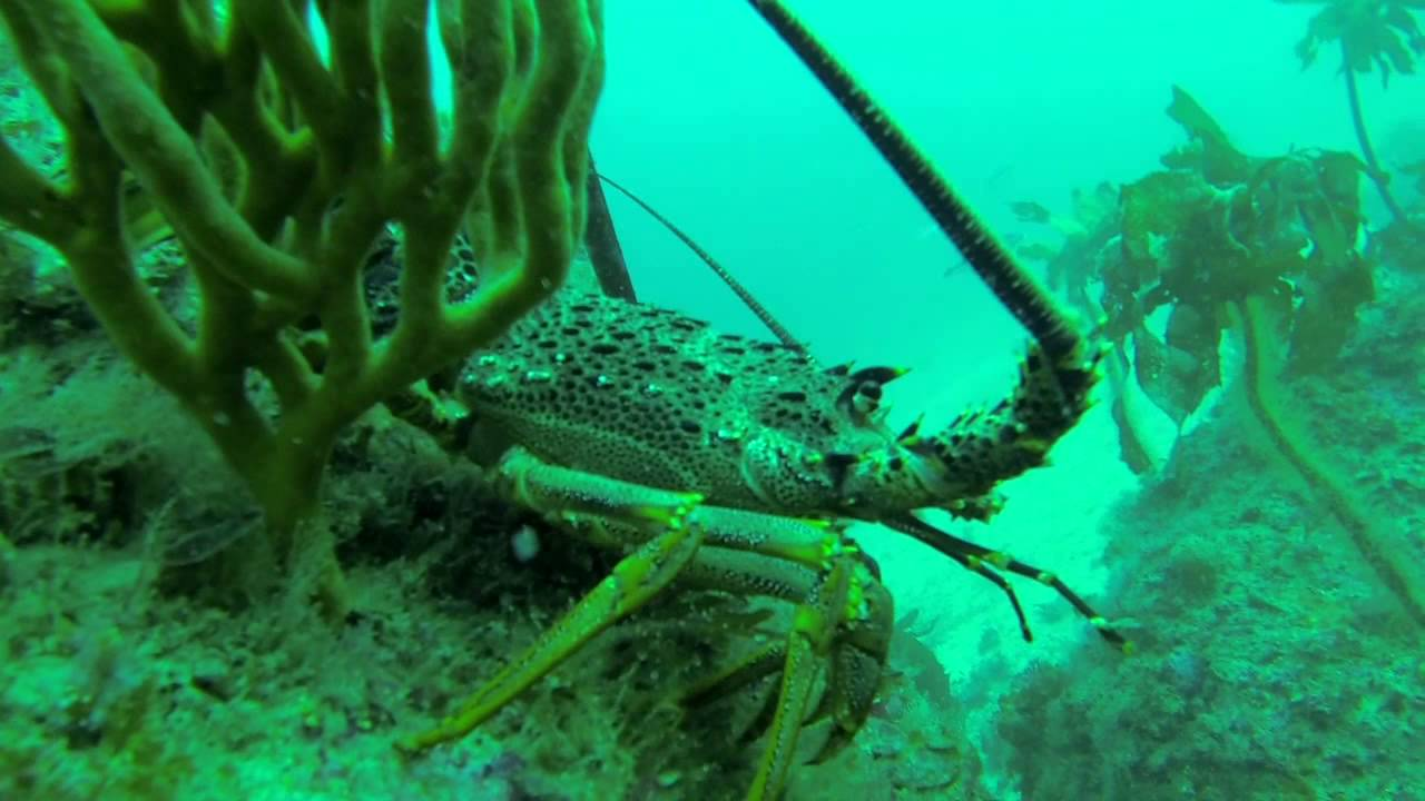 Great Barrier Island New Zealand  city photo : Diving for Crayfish at Great Barrier Island New Zealand YouTube