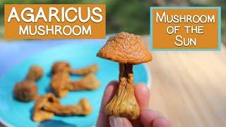 Agaricus Blazei, Immune Supporting Beta-Glucans