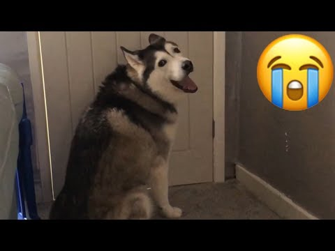 My Husky Crying & Pining because my other Husky has gone!