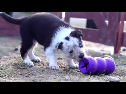 Border Collie Puppies from Firework Hill | (Zoey x Charlie) 5 weeks