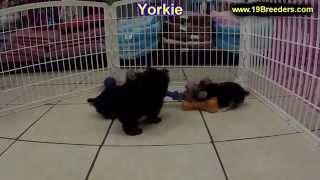 Yorkie, Puppies, For, Sale, In, Birmingham, Alabama, Al, Montgomery, Tuscaloosa, Jefferson, Shelby,