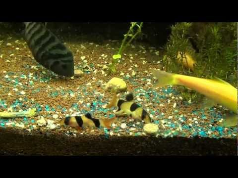 Poissons d 39 aquarium zierfische guppy platy betta s for Aquarium zierfische