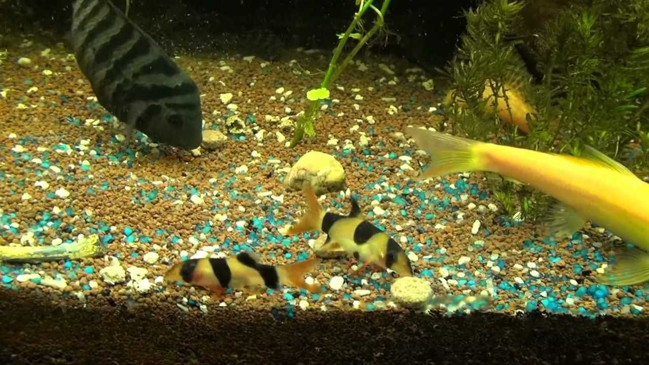 mes poissons et video d'une repro de nigro dans aqua surpeuplé eau douce