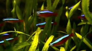 cardinals red neon tetras in planted tank