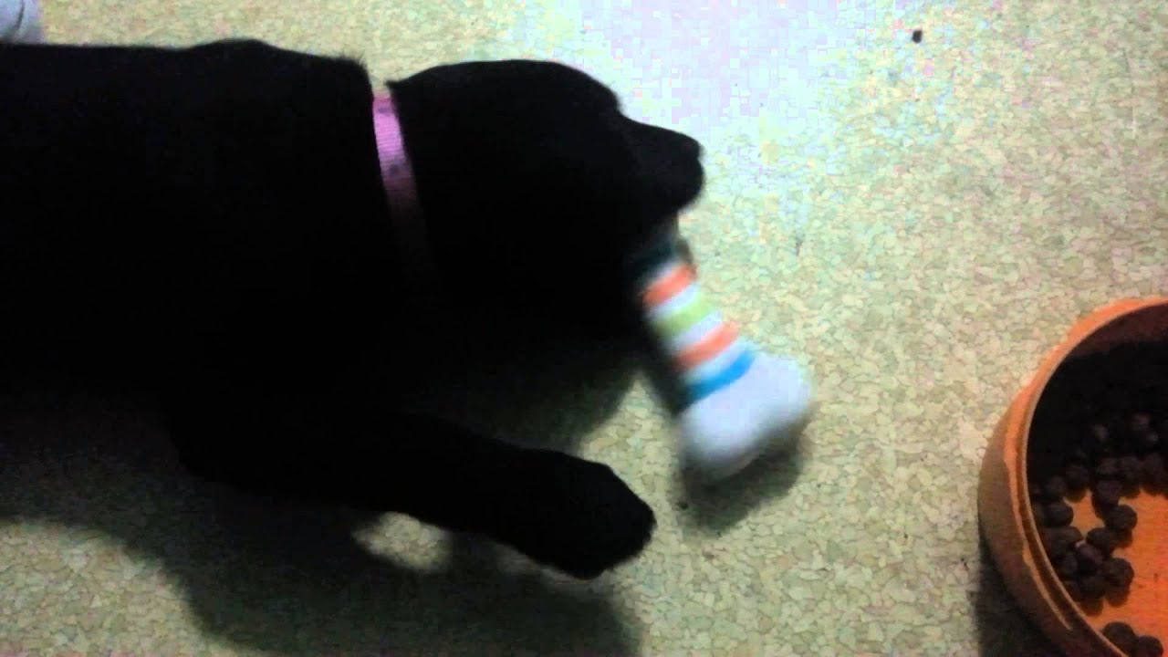 Black Lab Puppy Stella Playing with a Chew Toy