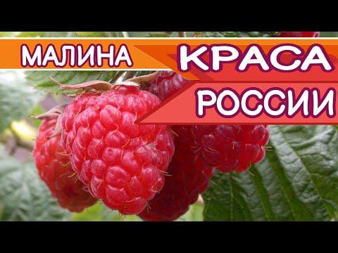 Вопрос: Как отличить сорт малины Краса России от Гордость России при покупке?