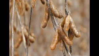 Soybean harvesting showing better yields than expected