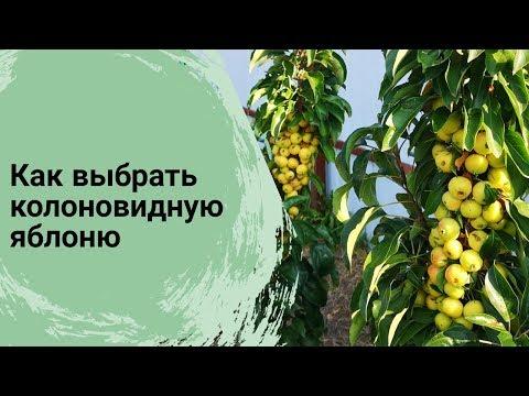 Как выбрать колоновидную яблоню// Сорта колоновидных яблонь