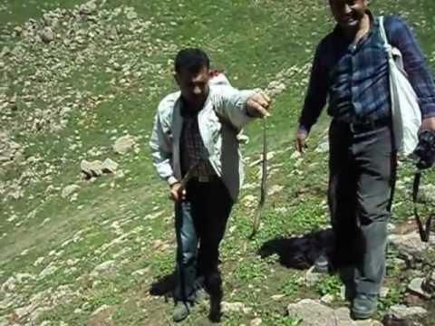 yılan sag yakaladılar
