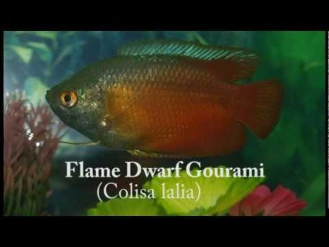 Flame Dwarf Gourami - Quick Facts