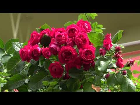 家の薔薇たち 南つる 2018.7.7 朝 4k
