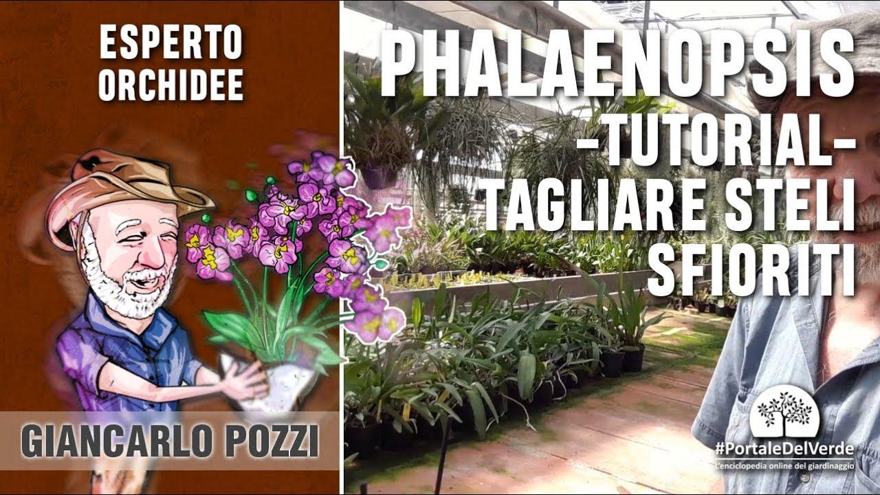 Download Come tagliare lo stelo sfiorito della Phalaenopsis