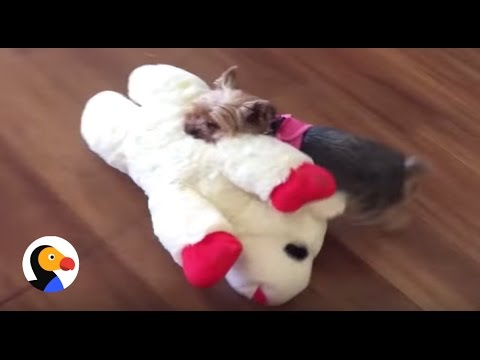 Tiny Dog Picks Out Biggest Toy In The Pet Store | The Dodo