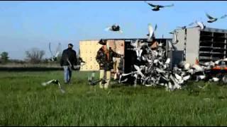 видео Соревнования голубей