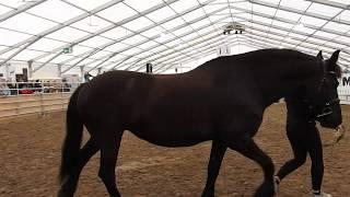 フリージアン・ホースの紹介1 Friesianhorse presentation 2019 0503