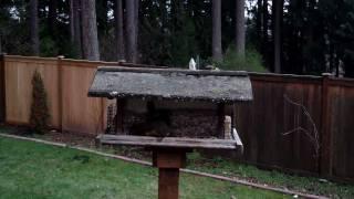 Douglas Squirrel On A Birdfeeder