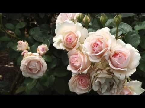Vườn Hoa Hồng Rực Rỡ ở Melbourne , Australia - Stunning Roses at Victoria State Rose Garden