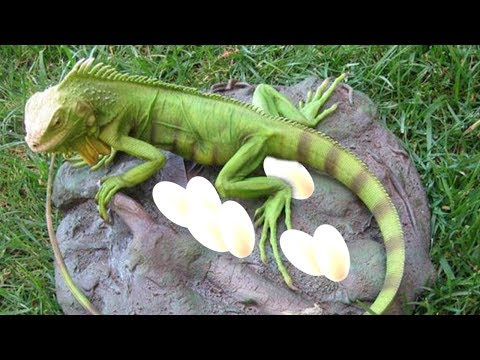 Mother Green Iguana pet laying eggs in her nest and cute babies hatching