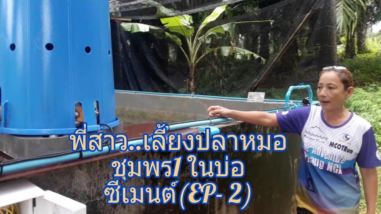 พ สาว เล ยงปลาหมอช มพร1 ในบ อซ เมนต Ep 2 อำเภอกะเปอร จ งหว ดระนอง Youtube กบ ก ง