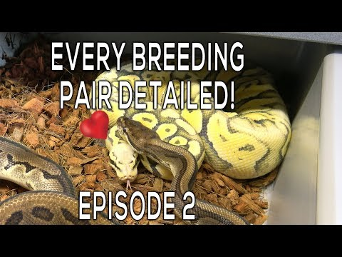 FULL Breeding Update! Facing Fear of Snakes! Fertile vs. Infertile Eggs - Ep 2 of Reptiles Remixed