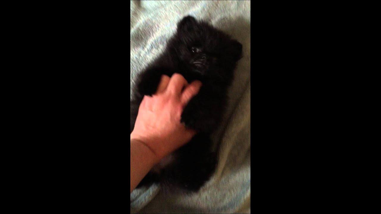 Teddy Bear Pomeranian Black Cherry Baby Youtube