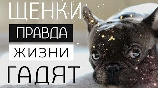 французский бульдог в квартире минусы   как приучить к квартире собаку  стоит ли заводить собаку