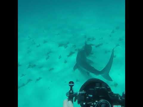Diver Encounters Tiger Shark Preying on Turtle