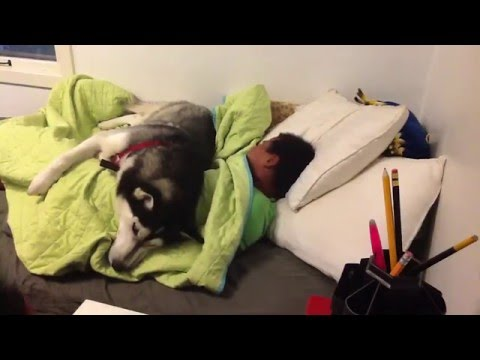 Smart Dog Knows How To Stay In Bed In The Morning