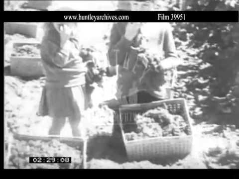 1930's Australian Grape Harvest.  Archive film 39951