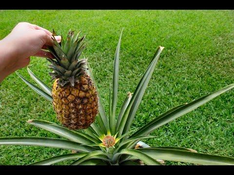 Как растет ананас видео
