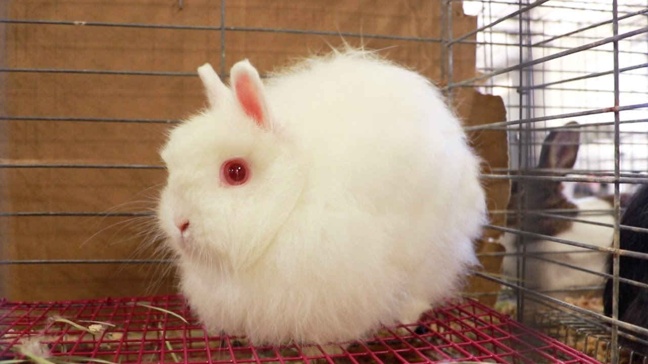 The Super Wooly Jersey Wooly Rabbit