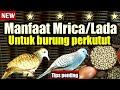 Manfaat Mrica Atau Lada Untuk Burung Perkutut  Mp3 - Mp4 Download