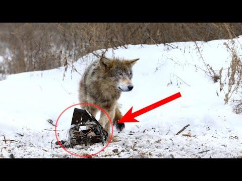 Попав в капкан, волк ждал на помощь своих сородичей. Но браконьеры были уже близко. А спустя время..